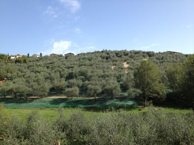 Oliveto トスカーナのオリーブ畑